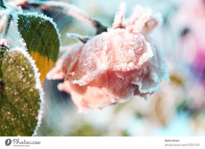 eisblume Natur Pflanze Winter Eis Frost Schnee Schneefall Blume Rose Blatt Blüte Garten Park Wiese Blühend Duft frieren verblüht schön kalt erfrieren Raureif