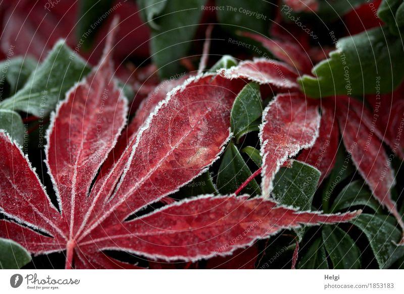 Weißheit | ganz dezent am Rand... Natur Pflanze grün weiß rot Blatt ruhig Umwelt kalt Leben Herbst natürlich Garten grau liegen Eis