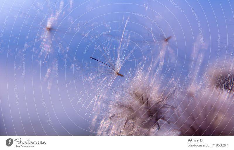 Vom winde verweht Sommer Natur Pflanze Himmel Wind Blume Gras Blüte frei glänzend hell natürlich weich blau Kreativität Leichtigkeit rein abstrakt