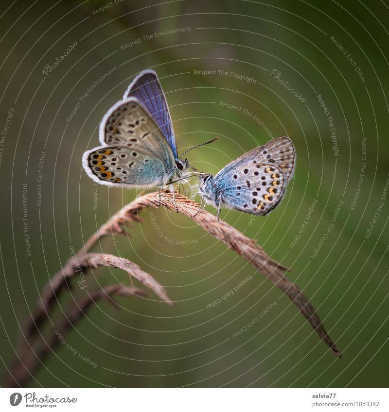 Prima Klima | Freundschaften pflegen harmonisch Valentinstag Umwelt Natur Tier Sommer Pflanze Gras Halm Wiese Schmetterling Flügel Bläulinge 2 berühren genießen