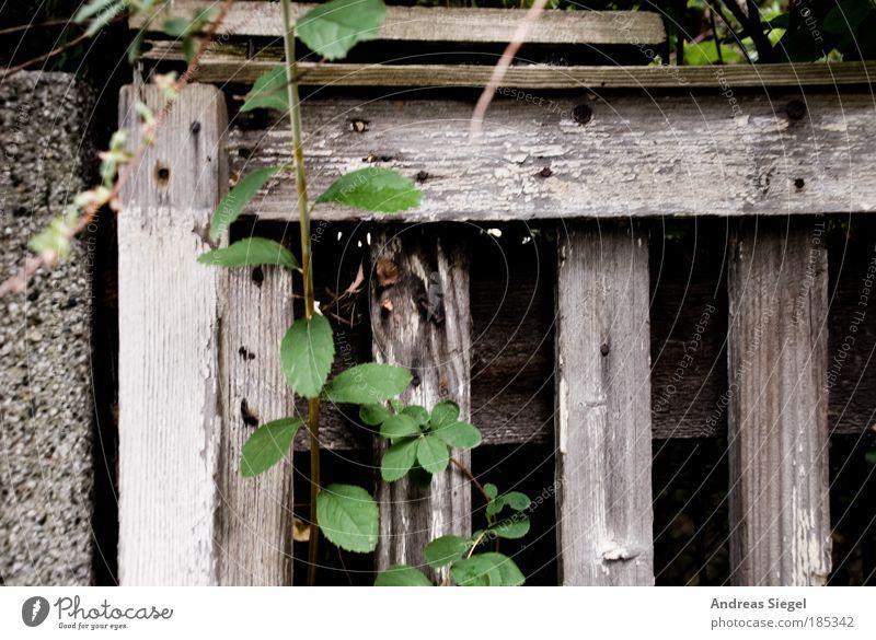 Altes Holz Umwelt Natur Pflanze Sträucher Grünpflanze Wildpflanze Zaun Stein Beton authentisch dunkel frisch rebellisch trist grau grün anstrengen Hoffnung