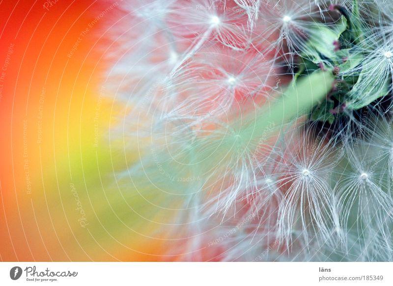 Pusteblume Löwenzahn Pflanze Blüte Wildpflanze einzigartig Vergänglichkeit Wandel & Veränderung Zukunft startbereit Farbfoto mehrfarbig Außenaufnahme