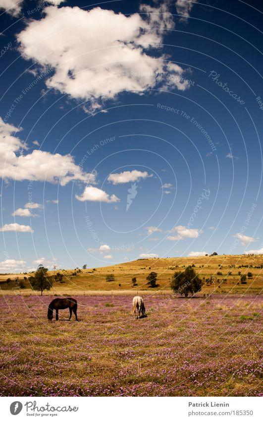 richtig kitschig! Himmel blau Pflanze Tier Wolken Wiese Landschaft Freiheit Blüte Luft Pferd Hügel Kitsch Schönes Wetter harmonisch Australien