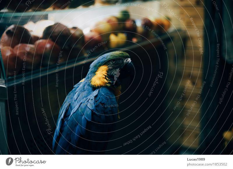 Papagei Granatapfel Frucht Ferien & Urlaub & Reisen Tourismus Jerusalem Israel Tier Haustier Wildtier Vogel Papageienvogel 1 sitzen blau gelb grün Ara Feder