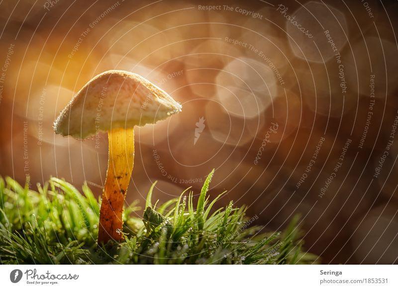 Alleinstehend Umwelt Natur Landschaft Pflanze Tier Herbst Gras Moos Garten Park Wald glänzend leuchten Wachstum Pilz Pilzhut Pilzsucher Pilzkopf Unschärfe