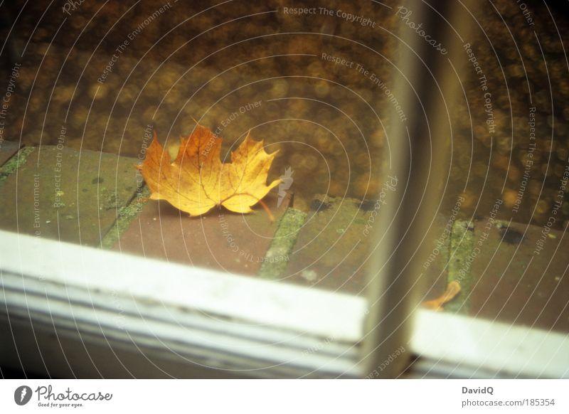 draußen vor dem fenster Natur Pflanze Blatt gelb kalt Herbst Fenster Häusliches Leben Vergänglichkeit natürlich Fensterbrett