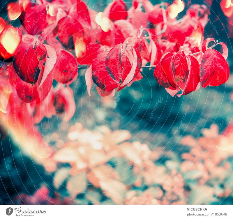 Rote Herbst Blätter im Garten oder Park von VICUSCHKA. Ein ...