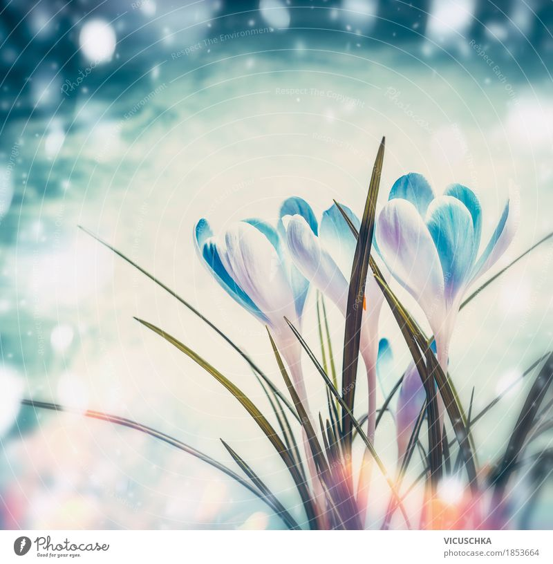 Erste Krokusse auf blauem Schnee Hintergrund Design Leben Winter Garten Natur Landschaft Pflanze Sonnenlicht Frühling Schönes Wetter Blume Blatt Blüte Park
