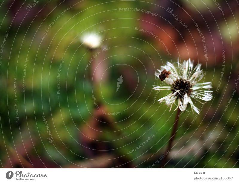 letzte Pusteblume 2009 Natur Pflanze Sommer Blume Einsamkeit Umwelt Wiese Herbst Gras klein Blüte Park Regen Wetter Klima Wachstum