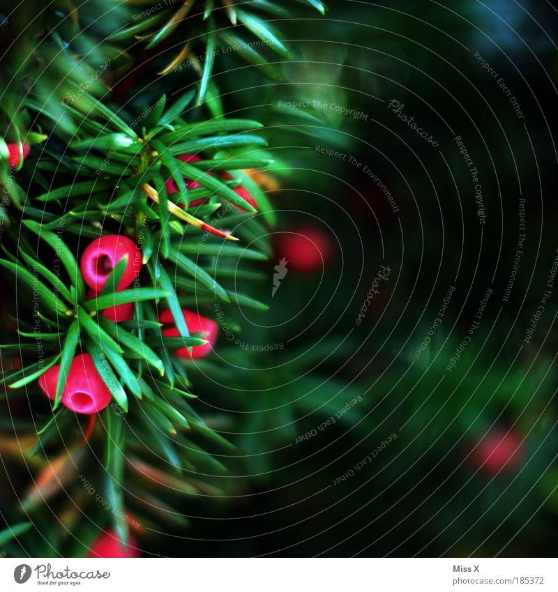 Eibe Natur Herbst Pflanze Baum Sträucher Blatt Park schön stachelig rot Gift Beeren klein Tannennadel Zierpflanze Gartenpflanzen Kugel Farbfoto mehrfarbig
