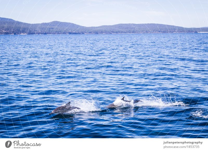 Delphine, die in Maria Island springen Glück schön Leben Spielen Tourismus Kreuzfahrt Sommer Strand Meer Insel Menschengruppe Natur Tier Sand Küste Fähre