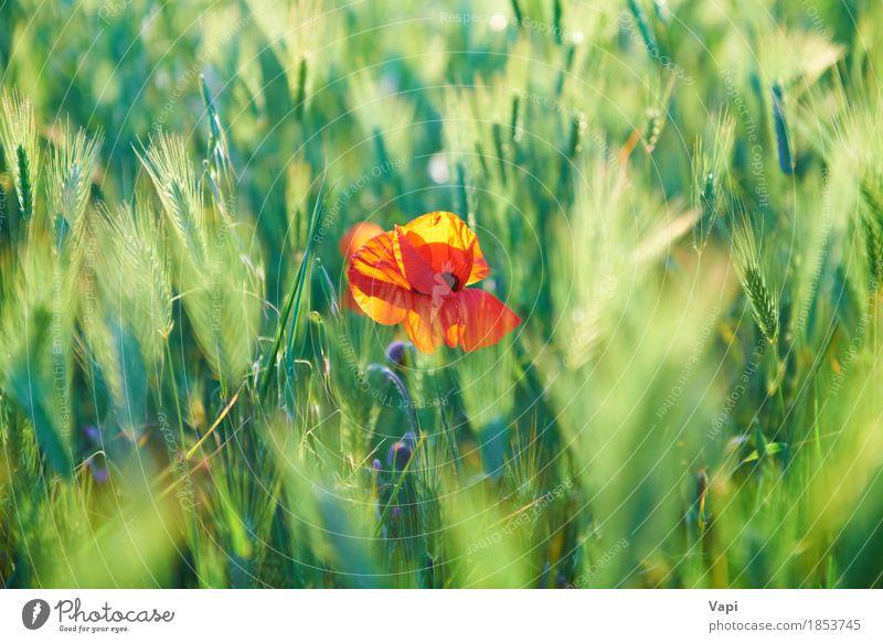 Rote Mohnblume auf dem grünen Feld Sommer Sonne Umwelt Natur Landschaft Pflanze Wetter Schönes Wetter Blume Gras Blatt Blüte Wildpflanze Garten Park Wiese