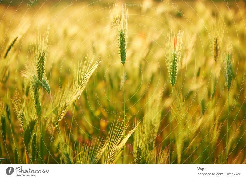 Feld des Grases auf Sonnenuntergang Natur Pflanze Sommer grün Landschaft Umwelt gelb Wiese orange hell Wachstum gold Idylle