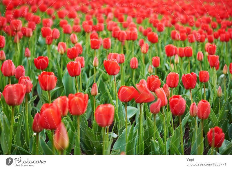 Feld der schönen roten Tulpen Sommer Garten Menschengruppe Natur Landschaft Pflanze Frühling Blume Blatt Blüte Park Wiese Wachstum hell grün rosa Farbe