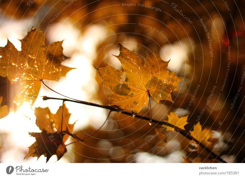 Herbst Natur Baum rot Pflanze Sonne Blatt Umwelt Landschaft gelb Wärme Herbst Park braun gold glänzend Schönes Wetter