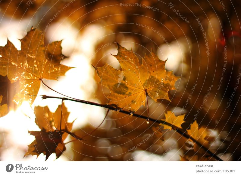 Herbst Umwelt Natur Landschaft Pflanze Sonne Sonnenaufgang Sonnenuntergang Sonnenlicht Schönes Wetter Baum Blatt Park braun gelb gold rot Blätter Ast Herbstlaub
