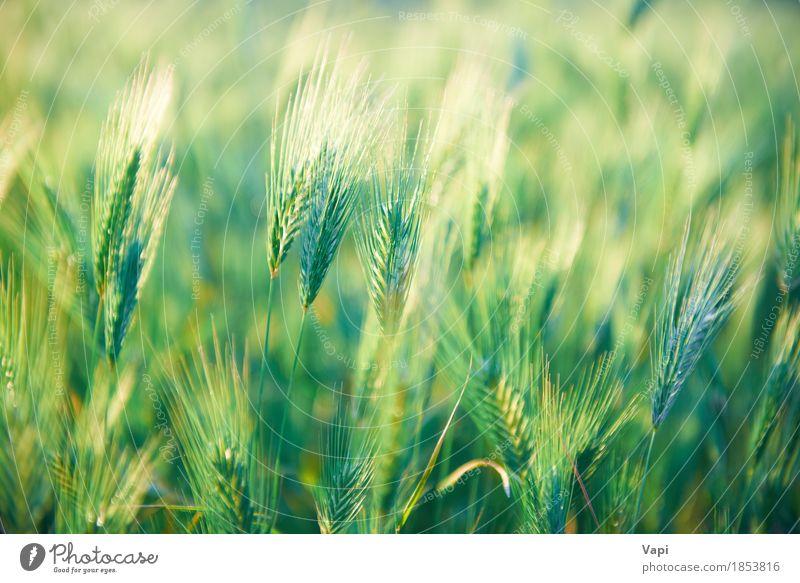 Feld des Grases auf Sonnenuntergang Natur Pflanze Sommer grün Landschaft Umwelt gelb Frühling Wiese hell Wachstum gold Idylle