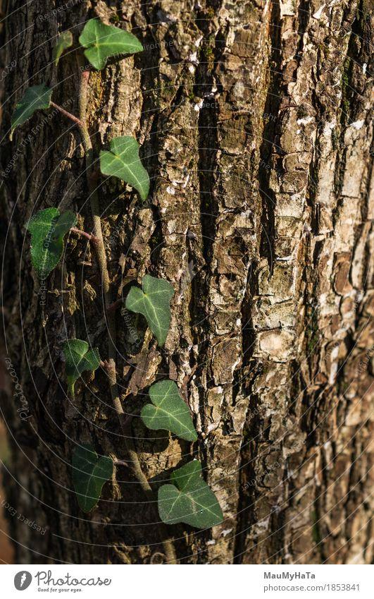 Efeu Natur Pflanze Sonne Sonnenaufgang Sonnenuntergang Sonnenlicht Sommer Herbst Klima Klimawandel Schönes Wetter Baum Blatt Grünpflanze Wildpflanze Garten Park