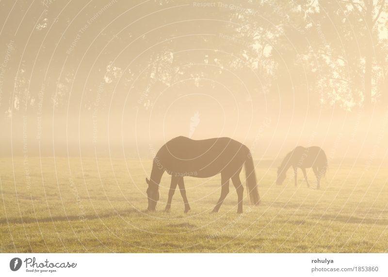 Pferde, die auf nebelhafter Weide bei Sonnenaufgang weiden lassen Sommer Natur Landschaft Tier Nebel Gras Wiese Nutztier Fressen Gelassenheit ländlich Feld