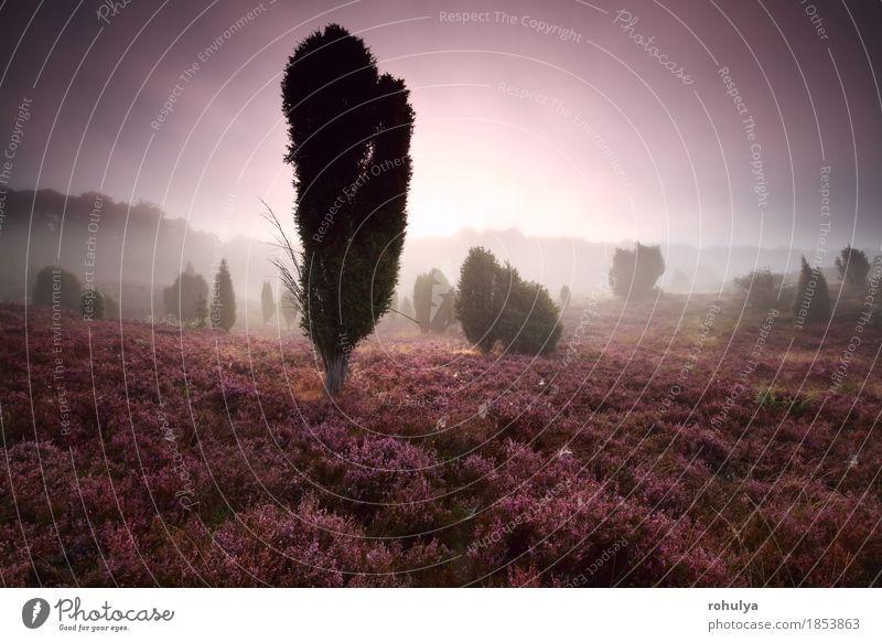 Wacholder und Heidekraut bei nebligen Sonnenaufgang Natur Baum Landschaft Blume Blüte Herbst Wiese Deutschland rosa Nebel Aussicht Hügel Jahreszeiten