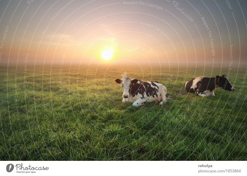 entspannte Kühe auf der Weide bei Sonnenaufgang Himmel Natur Sommer grün Landschaft Tier Wiese Gras Nebel Jahreszeiten Bauernhof Gelassenheit Kuh ländlich