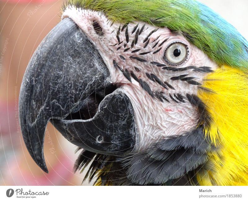 Portrait eines Gelbbrustara Tier Vogel Tiergesicht Zoo Natur Neugier Ara Papageienvogel tropisch Blick in die Kamera Porträt Schnabel Auge Farbfoto