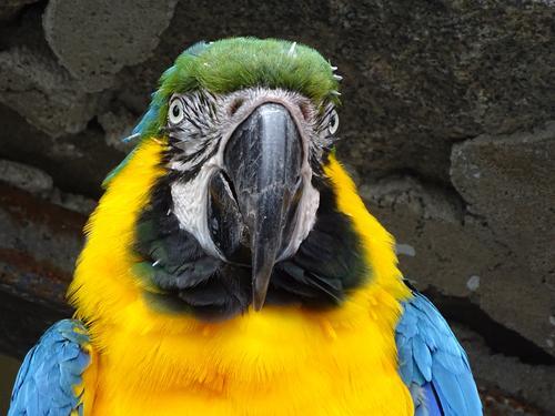 Gelbbrustara im Portrait blau Tier gelb Vogel Freundlichkeit Tiergesicht