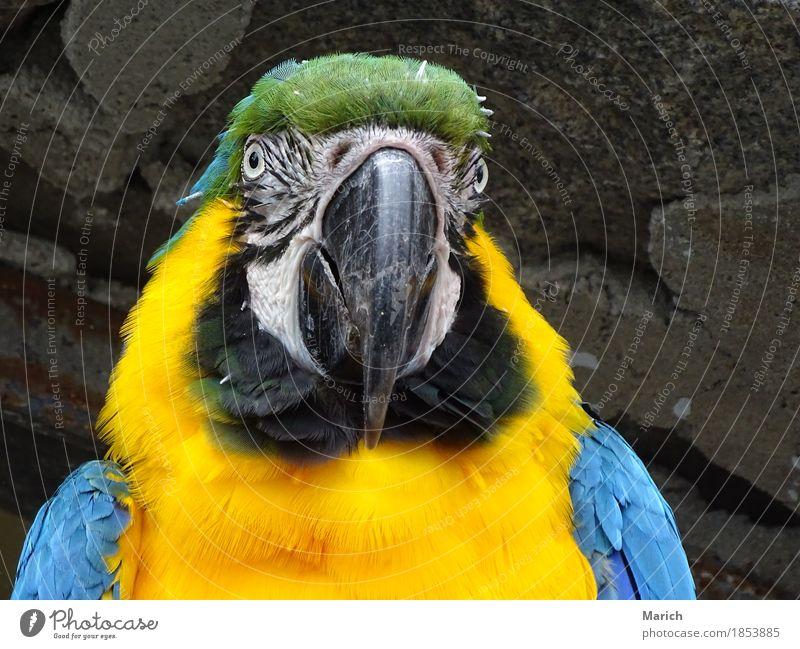 Gelbbrustara im Portrait Vogel Tiergesicht 1 Freundlichkeit blau gelb Farbfoto Außenaufnahme Nahaufnahme Tag Porträt Tierporträt Vorderansicht Blick