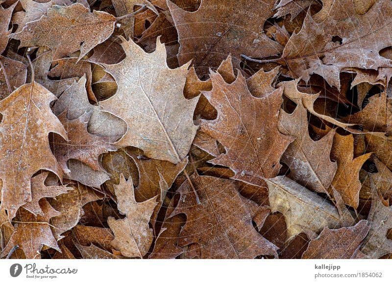 er ist wieder da Umwelt Natur Pflanze Tier Herbst Winter Eis Frost Baum Blatt Herbstlaub fallen laubhaufen Laubbaum Eiche Eichenblatt Raureif Farbfoto