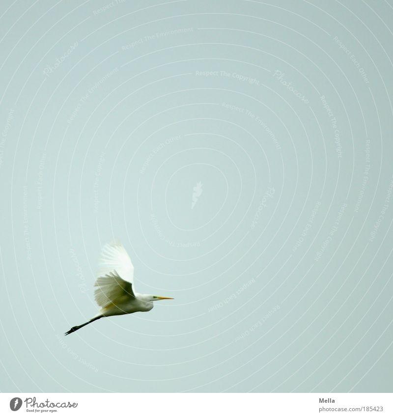 I believe I can fly Natur Tier Luft Himmel Vogel Silberreiher 1 fliegen elegant frei natürlich grau weiß Stimmung ruhig Sehnsucht Fernweh ästhetisch Bewegung