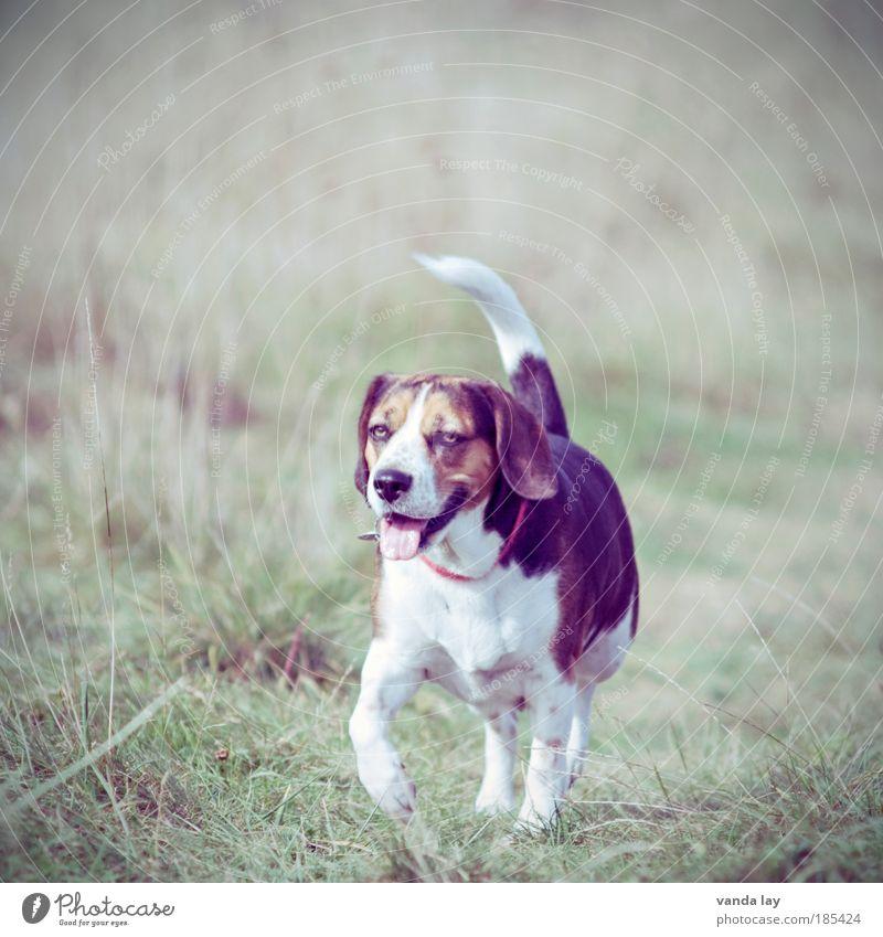 Kein Wässerchen trüben... Natur Tier Leben Wiese Hund Park Feld wandern laufen Umwelt Spaziergang Schönes Wetter Haustier Halsband Gassi gehen Beagle