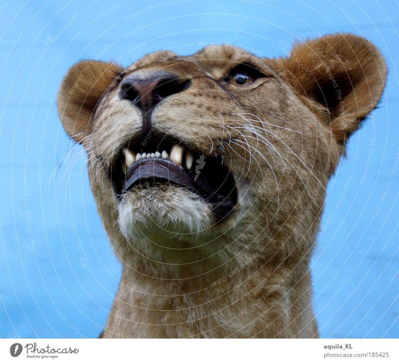Echt oder Unecht... Wildtier Fell Löwin Maul Fangzahn Raubkatze Katze Ohr Außenaufnahme Tag