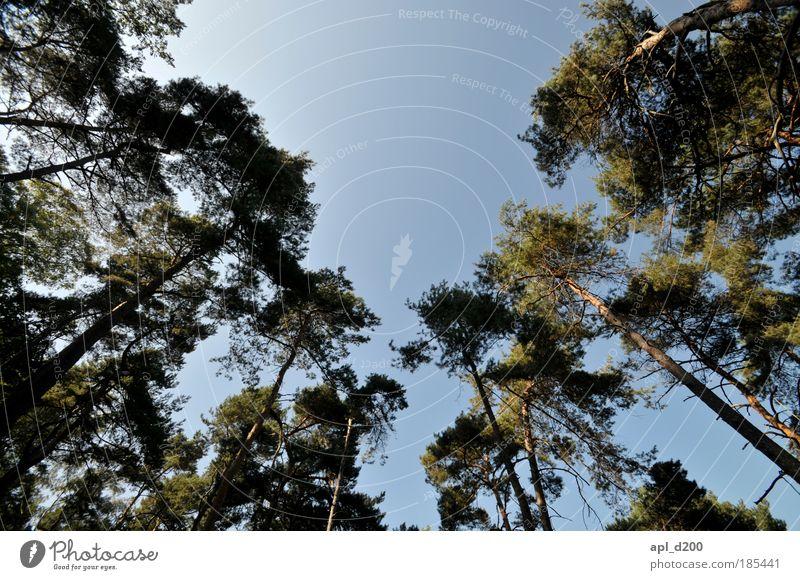 Baumkronen Himmel Natur alt grün blau Pflanze Freude Sommer Wald Landschaft Umwelt Glück Park ästhetisch Schönes Wetter