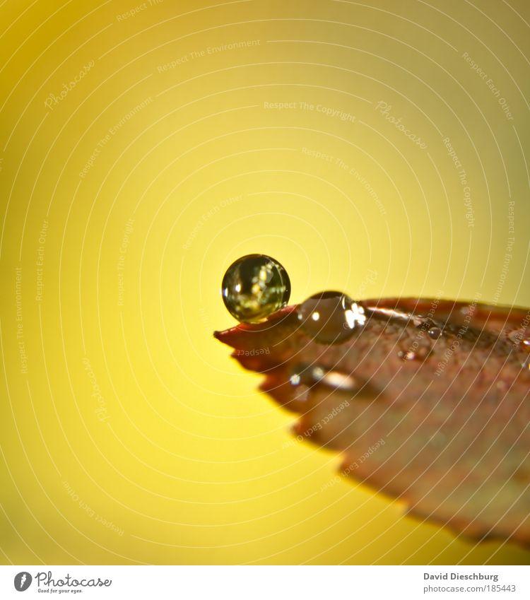 World of pearls Umwelt Natur Wassertropfen Herbst Klima Regen Pflanze Blatt braun gelb silber Kugel rund Kreis Zacken glänzend natürlich Tau Farbfoto
