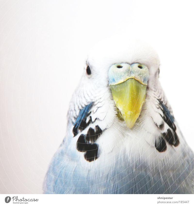 Bissle Rumvögeln blau Tier gelb grau Vogel fliegen verrückt Papageienvogel Feder Zoo Freundlichkeit Partnerschaft Tierporträt Kopf Haustier exotisch