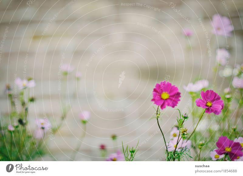 mauerblümchen Natur Pflanze Sommer Stadt Blume Blüte Mauer Stadtleben Beet Wildpflanze