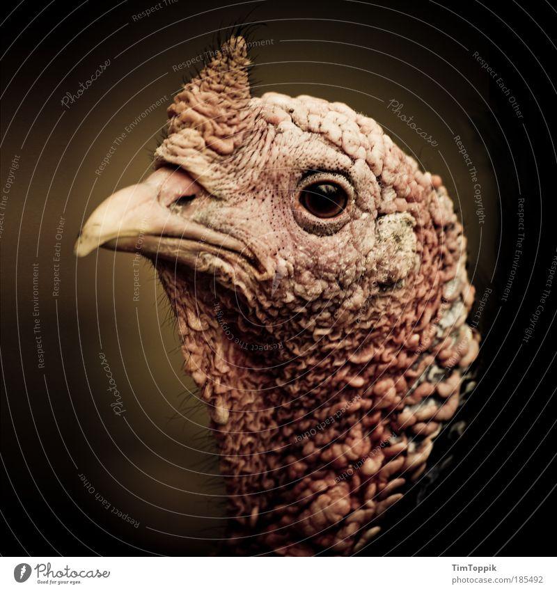 Bin ich schön? Tier Haustier Nutztier Truthahn Vogel Schnabel 1 Traurigkeit Hautfalten Horn hässlich Tierporträt Tiergesicht Blick in die Kamera Nahaufnahme