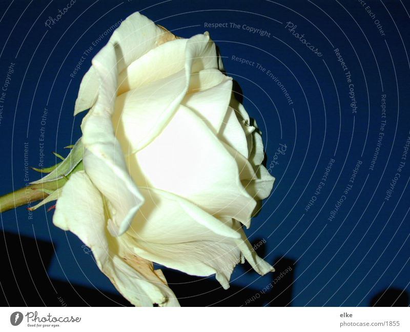 nachtrose Natur Blume Pflanze Rose