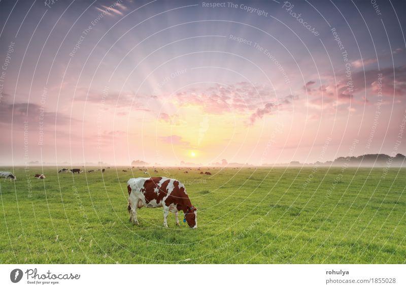 Kuh, die auf Weide bei drastischem Sonnenaufgang weiden lässt Sommer Natur Landschaft Tier Himmel Nebel Gras Wiese Nutztier Fressen grün Rind ländlich Feld