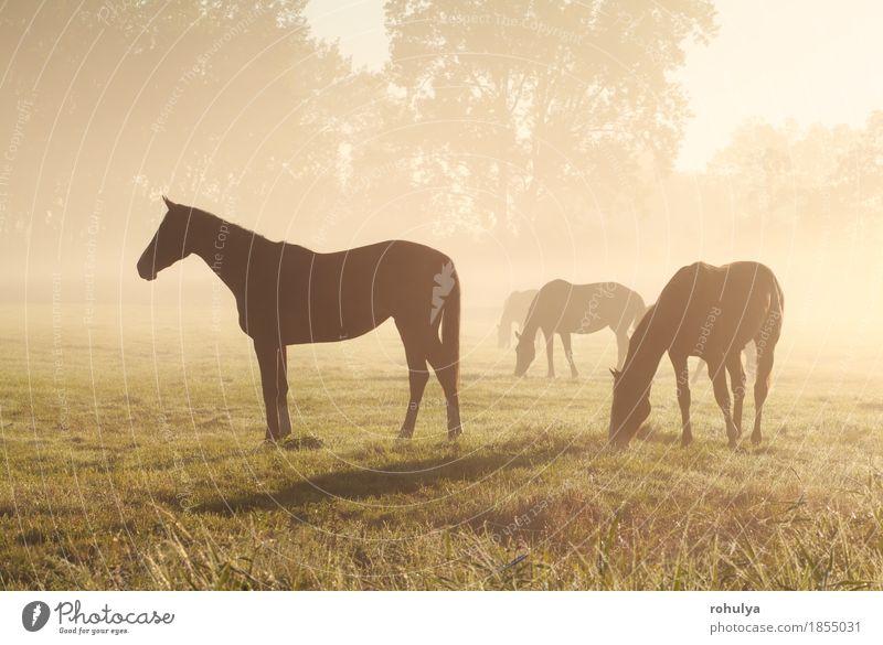 Natur Sommer Landschaft Tier Wiese Gras Nebel Aussicht Jahreszeiten Weide Pferd Gelassenheit Fressen ländlich Großgrundbesitz Grasland