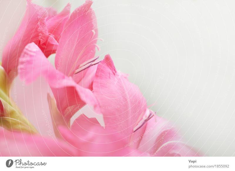 Blumenstrauß von schönen roten und rosa Gladiolen Natur Pflanze Farbe Sommer grün weiß Blatt Blüte Liebe natürlich Garten Design hell