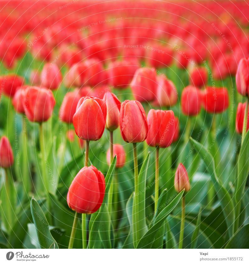 Feld der schönen roten Tulpen Ferien & Urlaub & Reisen Sommer Garten Menschengruppe Natur Landschaft Pflanze Frühling Blume Blatt Blüte Park Wiese Wachstum hell