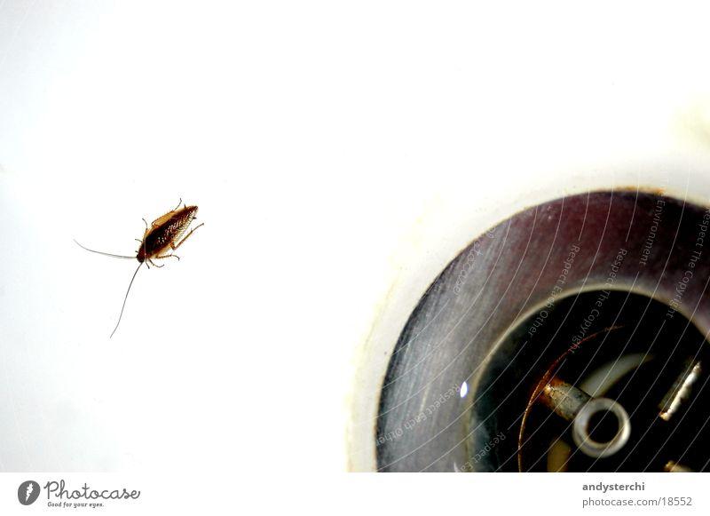 Von dort unten komme ich Wasser Metall Verkehr Insekt Loch Badewanne fließen Käfer Fühler krabbeln Abfluss sanitär Schaben Gemeine Küchenschabe