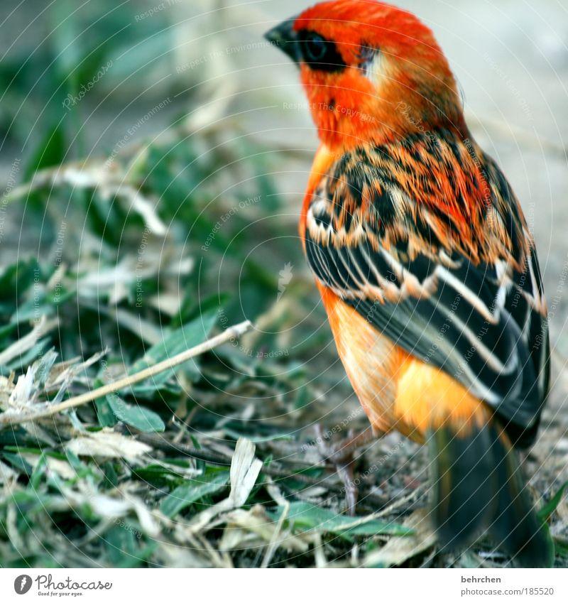 fody schön Pflanze rot Sonne Strand Ferien & Urlaub & Reisen Meer Blatt Ferne Tier Freiheit Vogel fliegen Insel Fröhlichkeit Feder