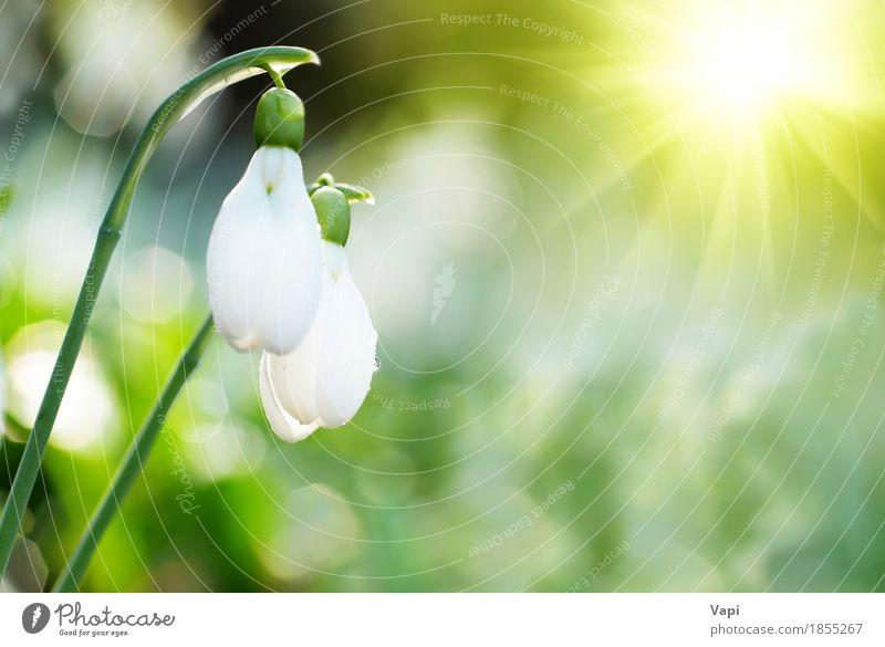 Weiße Blumen des Schneeglöckchen-Frühlinges Sonne Winter Garten Menschengruppe Umwelt Natur Landschaft Pflanze Wassertropfen Sonnenaufgang Sonnenuntergang