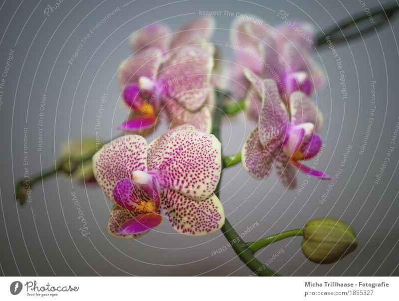 Blütenzweig Orchidee Natur Pflanze grün schön Blume Blatt gelb natürlich rosa Wohnung leuchten Wachstum Dekoration & Verzierung ästhetisch Blühend