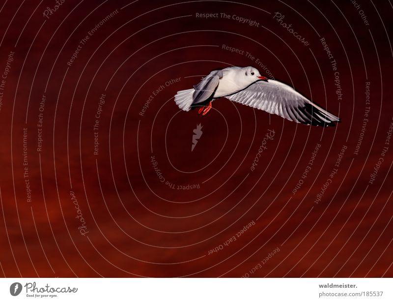 Möwe am Abend Vogel fliegen ästhetisch Wildtier Tier