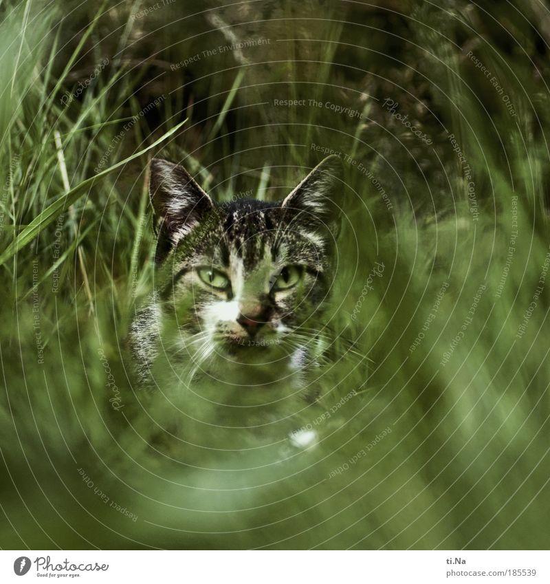 juhu...*100*...juhu Katze Natur grün schön Pflanze Sommer Tier Umwelt Herbst Gras warten Wildtier Sträucher beobachten Neugier Tiergesicht