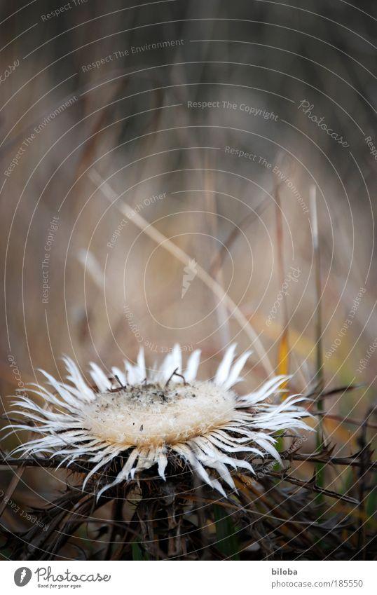 Bleibende Schönheit Natur alt weiß schön Pflanze Winter Herbst Tod Berge u. Gebirge Blüte Landschaft Umwelt braun dreckig ästhetisch Stern (Symbol)