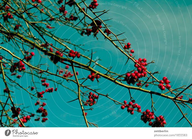 Beeren Sträucher Ast Zweig Baum Pflanze Garten Park Vogelbeeren Frucht Ernte Herbst Himmel Textfreiraum Menschenleer rot Kirsche Zierkirsche Wacholder Natur